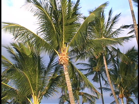 Hawaiian palm trees wave in the wind ビデオ