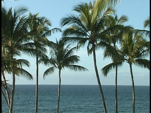 Hawaiian palm trees wave in the breeze ビデオ
