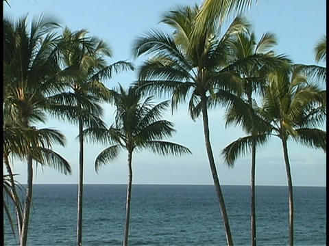 Hawaiian palm trees wave in the breeze Stock Video Footage