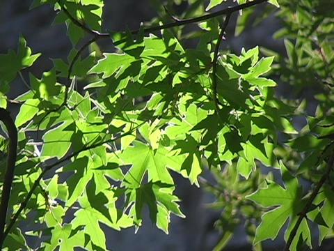 Green leaves wave in the breeze Stock Video Footage