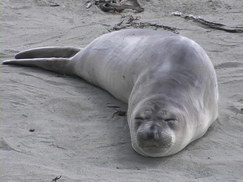 A Sea lion rolls around on a beach Stock Video Footage
