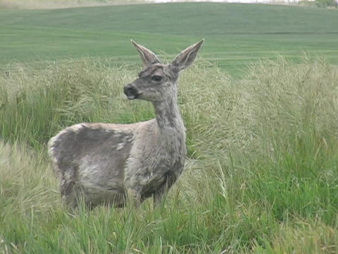 An alert deer looks around in a field Footage
