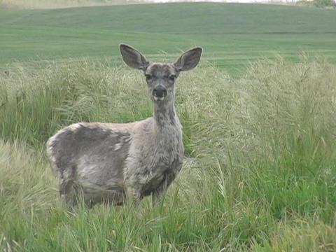 An alert deer looks around in a field Stock Video Footage