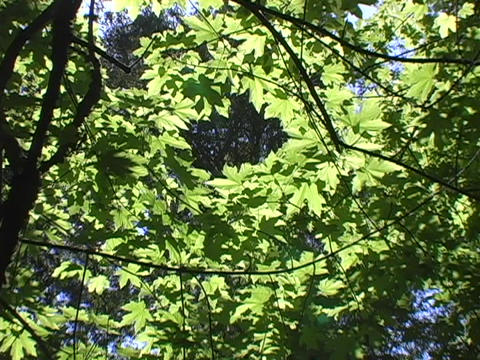 Light shines through leaves of a tree Stock Video Footage