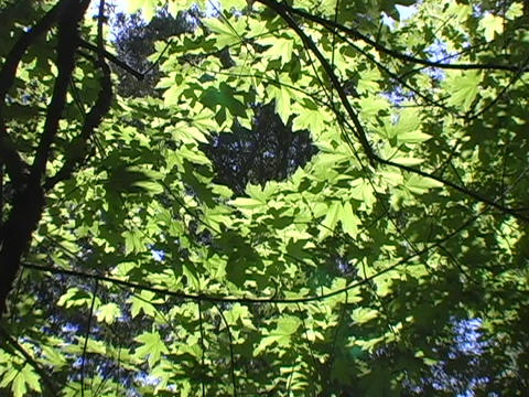 Light shines through leaves of a tree Footage