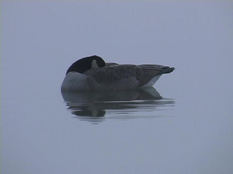 A duck sleeps on a lake Stock Video Footage