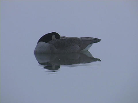 A duck sleeps on a lake Live Action