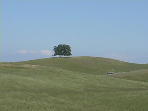 A single lonely oak tree stands on a distant hill in Central California Live Action