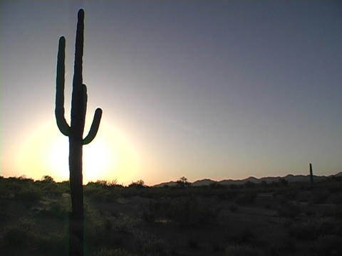 A cactus grows in Arizona at the Saguaro National Park Stock Video Footage