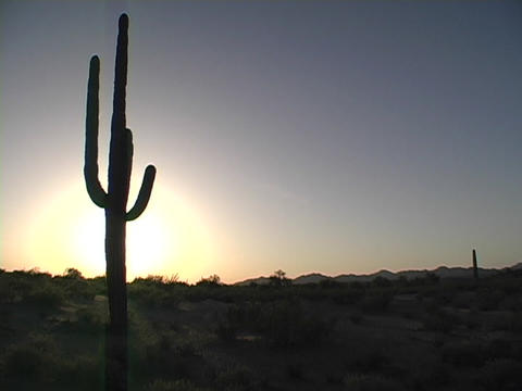 A cactus grows in Arizona at the Saguaro National Park Footage