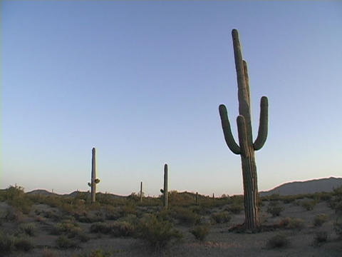 A desert cactus grows in Saguaro National Park, Arizona Footage