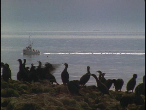Seabirds perch on a cliff overlooking the ocean Stock Video Footage