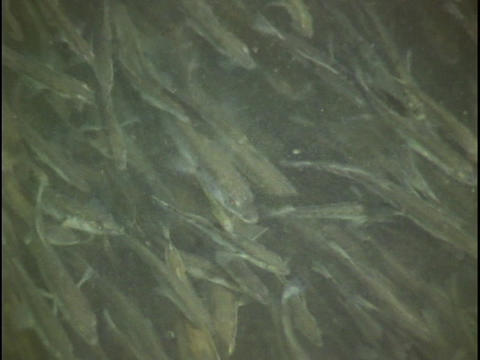 Minnows swim in a river Stock Video Footage