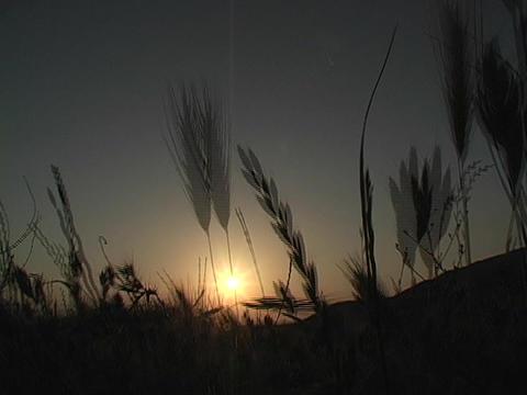 Wind blows fields of wheat Stock Video Footage