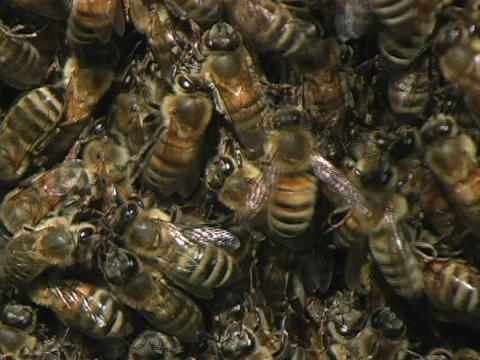 Bees swarm near a beehive Footage