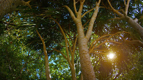 Sun Shining through the Branches of a Pandan Tree Footage
