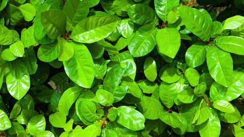 Leaves of a Fish Poison Tree Swaying in a Breeze Footage
