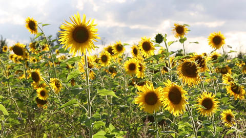 Sunflowers on a meadow in summertime Footage