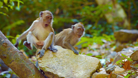 Cute Monkeys Grooming Each Other at the Zoo Footage