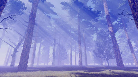 Sunbeams in foggy pine forest at dawn or dusk Footage