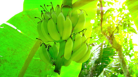 Bananas Hanging on a Wild Tree in the Sun Footage