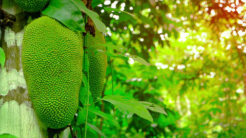 Young Wild Jackfruit on a Tree in the Jungle. with Sound Live Action