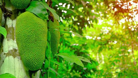 Young Wild Jackfruit on a Tree in the Jungle. with Sound Stock Video Footage