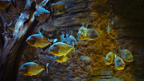 School of Piranhas in a Public Aquarium Footage