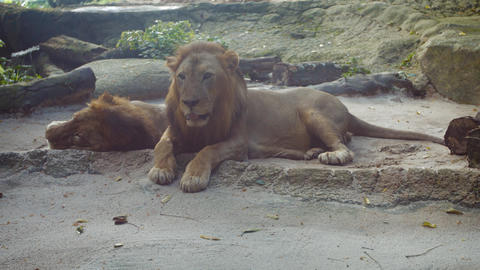 Pair of Big Lions Relaxing at the Zoo Footage