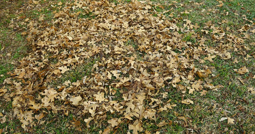 Leaf blower, blowing leaves Live Action
