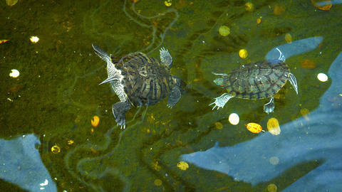 Pair of Kissing Turtles in a Buddhist Temple Pond Footage