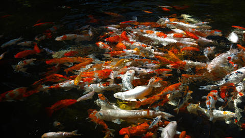 Swarming Shoal of Japanese Koi in a Decorative Pond Footage