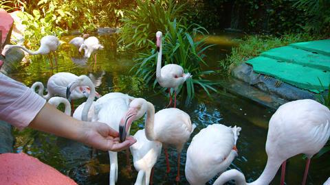 Tourist Feeding Greater Flamingos at an Interactive Zoo Exhibit Footage