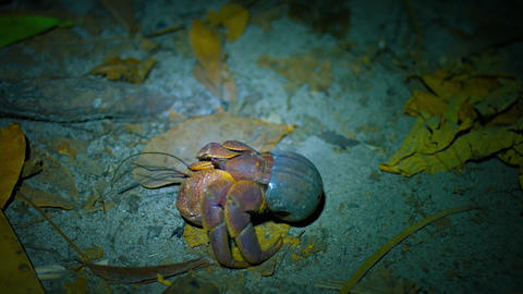 Hermit Crab Crawling over the Sand at Night Live Action