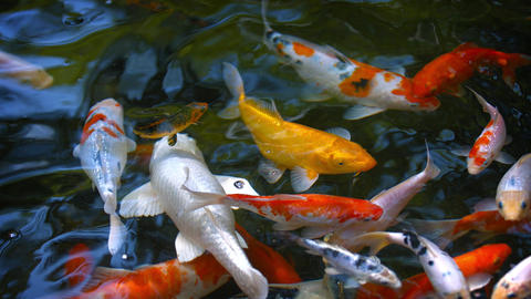 Dozens of Koi Fish. Swimming at a Pond's Surface Footage