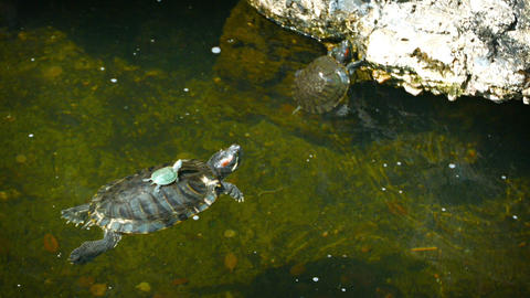 Baby turtle sits motionless on its mother's shell as she floats on the surface o Footage