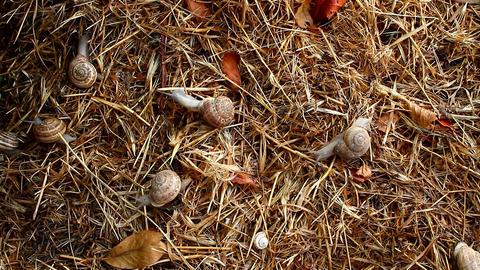 garden snail on straw Footage