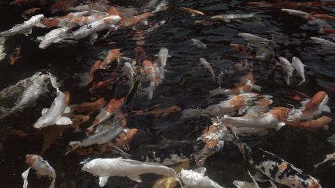 Japanese koi fish. churning the surface of a decorative pond. Ungraded RAW Footage