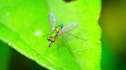 Closeup of a Predatory Long Legged Fly Eating Another Insect Footage
