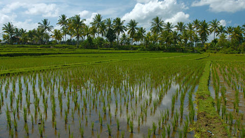 Farm with Lowland Rice Paddies in Southeast Asia. 4k video Footage