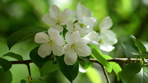 A close-up of the flowers of the Apple-tree Footage