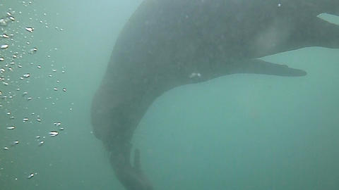 Sea lions swimming underwater in Punta Loma, Puerto Madrin, Argentina Footage