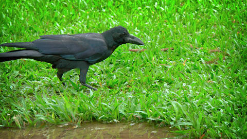 Big. Black Raven. Pecking at a Worm in the Grass Footage
