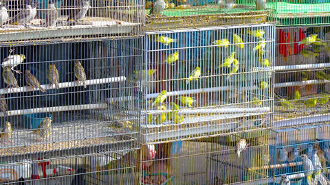 Dozens of Caged Finches in a Pet Store Footage