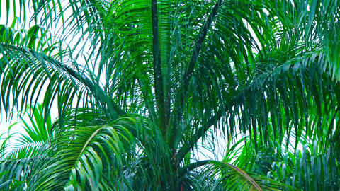 Palm Tree Swaying in a Monsoon Rain Storm Footage