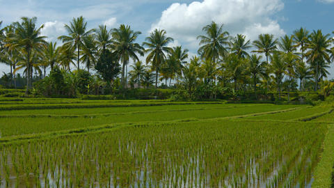 Lowland Rice Paddies on a Plantation in Southeast Asia Footage