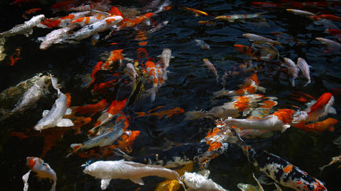 Colorful. Japanese koi fish. churning the surface of a decorative pond Footage