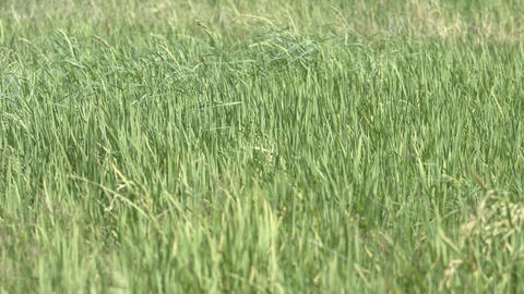 Blades and Stalks of Rice Plants on a Farm Footage