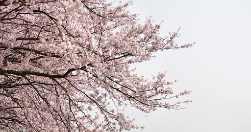 Cherry blossoms are in full bloom Live Action