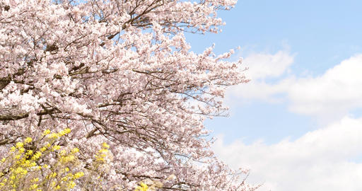 桜 菜の花 揺れる桜 パン撮影 ライブ動画